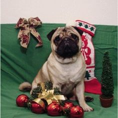 Christmas mood on!  #christmas #pug #pugs #mops #dog #puppy #christmasmood #christmastree