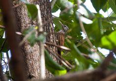 Foto arapaçu-de-bico-branco (Dendroplex picus) por Evaldo HS Nascimento | Wiki Aves - A Enciclopédia das Aves do Brasil