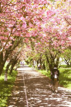 Sapporo--a tunnel of sakura trees | Flickr - Photo Sharing!