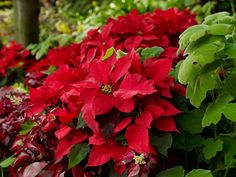 It's not Christmas without Poinsettias.