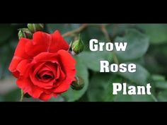 How to Grow & Care Rose Plant // Winter Care // Mammal Bonsai - YouTube