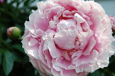 another peony