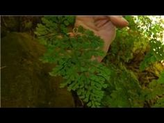 How to Grow a Maidenhair Fern. Maidenhair ferns have delicate lacy leaves on wiry stems. They thrive in warm moist air and are excellent terrarium plants. Here's how to grow a maidenhair fern indoors. Place your Maidenhair fern where it. Ferns Care, Maidenhair Fern, Terrarium Plants, Foliage Plants, Garden Tips, Ponds, Stems, Houseplants, Backyard Ideas