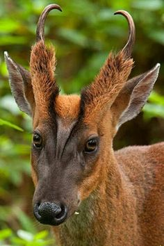 Wild Animals 302093087486866793 - ❧ Animaux sauvages ❧ Barking Deer Source by danielelemasle Interesting Animals, Unusual Animals, Rare Animals, Animals And Pets, Funny Animals, Wild Animals, Exotic Animals, Rare Species Of Animals, Endangered Species