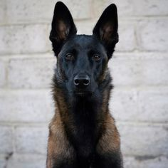 homeowners insurance 14 Amazing Facts About Belgian Malinois Berger Malinois, Belgian Malinois Puppies, Sweet Dogs, Cute Dogs, Malinois Shepherd, Pastor Belga Malinois, Belgium Malinois, Belgian Shepherd, Belgian Dog