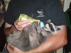 and a raccoon too!!!!  <3  <3 He has been rehabbed to the forest! <3 <3 Success!!!