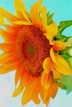 ~~ sunflower, helianthus annuus by Edison Zanatto~~스카이더비 RACE14.CO.NR 금요경마분석