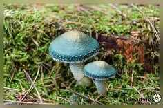 Groene koperzwam, paddenstoel