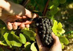 Une grappe de Pinot Noir cueillie délicatement à la main pendant la vendange