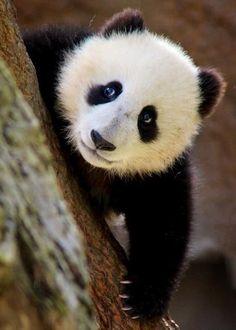 Panda Cuteness!