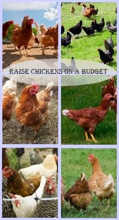 Raise Chickens on a Budget - If you're looking to raise chickens on a budget, there's a few things you can do to keep your cost to a minimum.