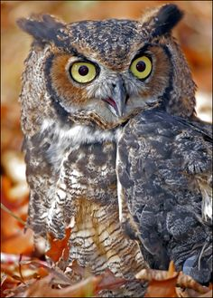 Great Horned Owl Photo - have a few in my neighborhood.