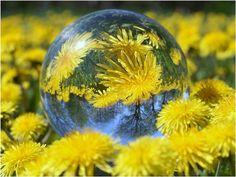 Dandelion Reflections - Flowers Wallpaper ID 1522718 - Desktop Nexus Nature Taraxacum, Colouring Pics, Photo Studio, Yellow Flowers, Color Show, Color Splash, Snow Globes, Christmas Bulbs, Reflection