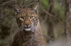 The recovery of large carnivores in Europe is a great success for nature conservation. At one third of mainland Europe, at least one species of large carnivore is present, according to a new article. It is an excellent example that humans and carnivores can share the same landscape, say researchers.