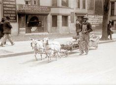 Interesting Vintage Photos of Goats