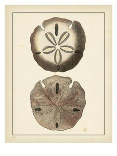 Antique Shells V Giclee Print by Denis Diderot at Art.com