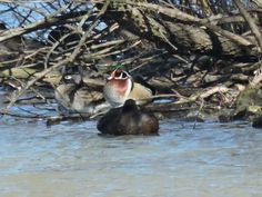 Pair of Wood Ducks!!! Bebe'!!! So pretty!!!