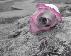 Flowers-Rosas-Flores-Pictures;Sensual fotos.