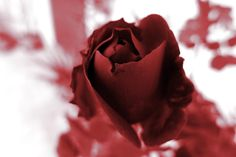 red red rose by MTAZMAR