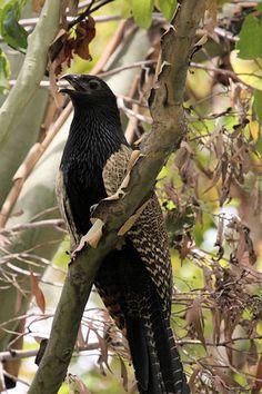 """Pheasant Coucal   The """"whoop-whoop bird"""", it nests in my side padock."""