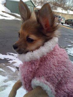 Deer+Head+Chihuahua+Long   Halifax Chihuahuas need sweaters. Peyton Marie ...   My Chihuahua Pics
