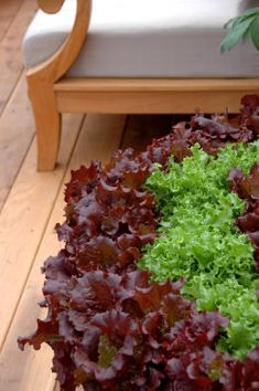 Container ve able gardening Houston Chronicle Lettuce varieties are so pretty in containers Will do this summer