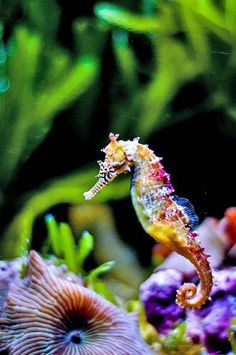 In this photo gallery, amazing seahorse photos and pictures with you. What is seahorses? Seahorse is from Syngnathida family. Underwater Creatures, Ocean Creatures, Beautiful Sea Creatures, Animals Beautiful, Aquarium Marin, Aquarium Fish, Freshwater Aquarium, Water Animals, Animals Sea