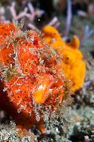 Pair of painted frogfish, Lembeh Strait, Sulawesi, Indonesia. | Matthew Oldfield Photography