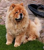 "Chow Chow is a type of dog breed originally from China, where it is referred to as Songshi Quan (Pinyin: sōngshī quǎn 鬆獅犬), which means ""puffy-lion dog""."