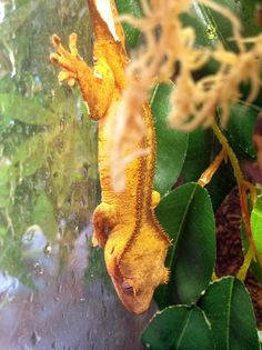 A crested gecko exploring their terrarium at Northampton Reptile Centre