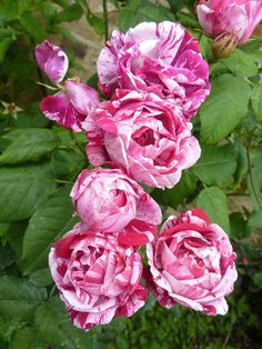 Rosa Mundi. The Apothecary rose a candy striped gallica, considered to be one of the oldest. 16thc.?something so romantic about these roses;I think it's the thought that they have been loved for centuries...