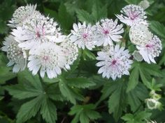 Astrantia major Outdoor Plants, Outdoor Gardens, Astrantia Major, Hydrangea, Nature, Flowers, Lime, Wedding, Board