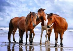 """Beach Beauties"": Wild horses on North Ocean Beach, Assateague Island, MD."" By Amy M. Wilson."