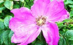 Rosa rugosa – Kartoffelrose