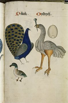 """heaveninawildflower: """" Peacock and Ostrich from The Tudor Pattern Book. Bodleian Library, MS. Ashmole 1504. Between 1520 and..."""