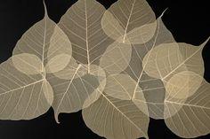 "Natural 4""- 5.5"" Bodhi Tree Skeleton Transparent Leaves (10 leaves ..."