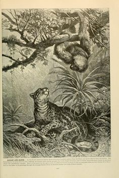 Ocelot and sloth, Brehm's Life of Animals: A complete natural history for popular home instruction and for the use of schools, Alfred Edmund Brehm, Volume 1 (Mammalia), 1895.