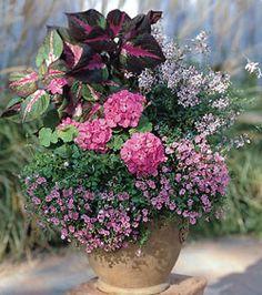 Geranium - (Pelargonium)  Magilla Perilla - (Red Perilla)   Gaura -(Gaura lindheimeri)   Angelonia -(Angelonia angustifolia)  Twinspur - (Diascia barberae)