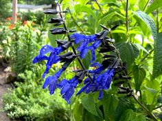 Salvia Black and Blue