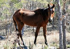 Nutrition for Rehabilitating the Starved Horse