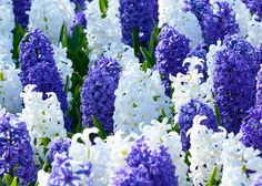 Kansas Mix Blue White from Dutch Grown - Year of the Hyacinth - Hyacinths flower in early to mid-spring at the same time as emperor and double early tulips, mid-season daffodils, chionodoxa, scilla and muscari. Spring Flowering Bulbs, Spring Bulbs, Spring Blooms, Spring Flowers, Hardy Perennials, Flowers Perennials, Bulb Flowers, Large Flowers, Planting Bulbs