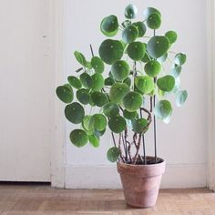 Chinese money plants. These are cute for interior. #tallhouseplants