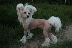 Chinese Crested Dog by catja08