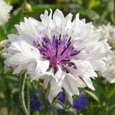 Weiße Kornblume