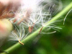 Dandelion seeds floating away from the flower head.  #flowers #weeds #seeds #dandelion  #macro #macros #macrophotography #macro_captures #nature #macroworld_tr #naturephotography #top_macro #photography #macroclique #macro_brilliance #summer #macro_perfection #naturelovers #igbest_macros #macro_vision #macro_highlight #macro_freaks #closeup #tw