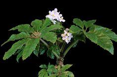 Begonia carolineifolia - Piante da collezione - Tropika