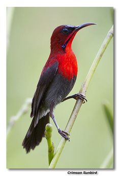 Crimson Sunbird: So elegant a stance, not to mention the coloring. Oh Nature!