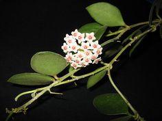 Hoya polyneura - hoya cola de pez