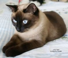 Used to have a siamese cat that looks just like this one he was the best cat EVER! #siamese #cats #SiameseCat