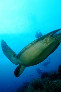 Turtle on Balicasag Island - Island Hopping and Scuba Diving in the Visayas in the Philippines – World Adventure Divers – Read more on https://worldadventuredivers.com/2015/01/24/island-hopping-in-the-visayas-philippines/
